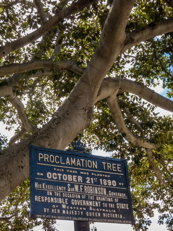 proclamation-tree-is-thriving-in-downtown-fremantle-australia