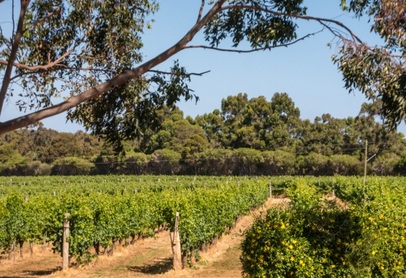 the-eucalyptus-trees-are-a-dead-giveaway-that-the-vineyards-are-in-australia-here-the-moss-wood-estate-where-we-had-a-superb-cellar-tour-and-barrel-tasting-margaret-river-region-australia