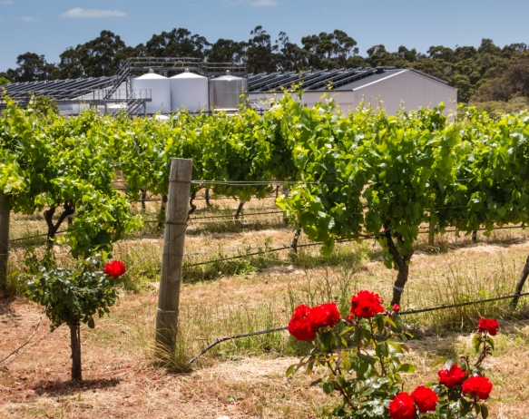 vineyard-and-winery-with-stainless-steel-tanks-visible-voyager-estate-winery-margaret-river-region-australia