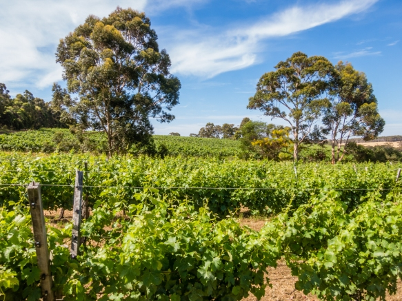 while-the-calendar-reads-december-it-is-the-beginning-of-summer-down-under-and-the-vines-are-verdant-pictured-here-vineyards-at-cullen-wines-margaret-river-region-austra
