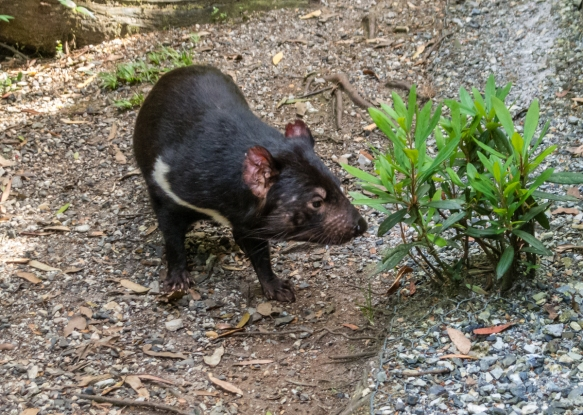 a-healthy-disease-free-tasmanian-devil-in-one-of-many-breeding-areas-of-the-devils-cradle-sanctuary-that-will-be-released-back-into-the-wild-when-hes-older-cradle-mountain-national-park