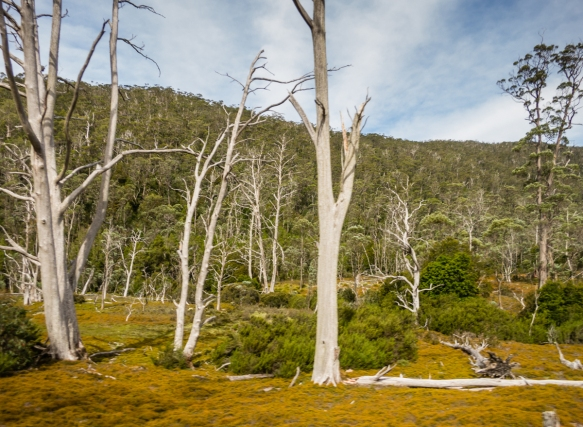 diseased-dead-trees-littered-the-ancient-rainforest-landscape-as-we-drove-up-to-dove-lake-and-cradle-mountain-from-the-devils-cradle-sanctuary-cradle-mountain-national-park-tasmania-australia
