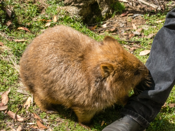 outside-in-the-sanctuary-the-keeper-fed-a-wombat-devils-cradle-cradle-mountain-national-park-tasmania-australia