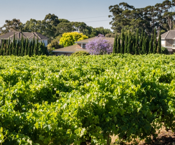 part-of-the-13-acre-shiraz-syrah-vineyard-at-penfolds-magill-estate-adelaide-australia-note-how-the-estate-is-hemmed-in-by-the-suburban-housing-development-precluding-expansion-of-the-vineyards