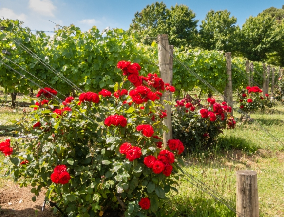 the-roses-on-the-edge-of-the-old-shiraz-syrah-vines-provided-a-nice-color-contrast-to-the-vineyard-paringa-estate-winery-the-mornington-peninsula-wine-region-victoria-australia