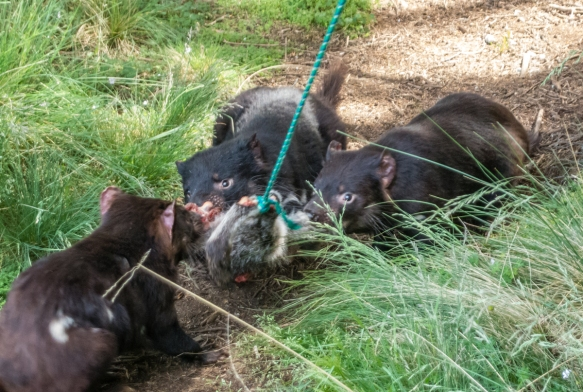 we-watched-three-tasmanian-devils-fight-somewhat-with-each-other-in-order-to-eat-the-carrion-on-the-end-of-the-green-nylon-rope-that-was-controlled-by-the-keeper-at-the-devils-cradle-sanctuary_