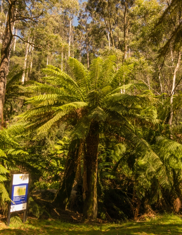 a-portrait-of-a-large-tree-fern-along-the-walking-track-along-side-the-emu-river-in-fern-glade-reserve-burnie-tasmania-australia