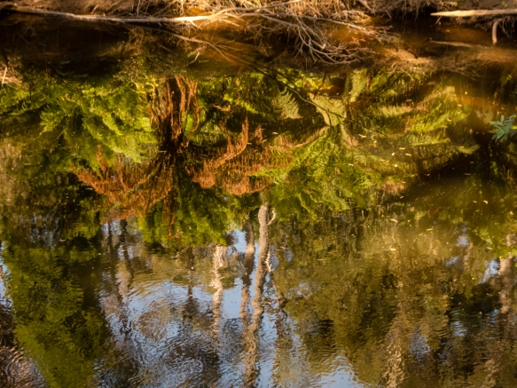 an-upside-down-reflection-in-the-emu-river-of-tree-ferns-in-fern-glade-reserve-burnie-tasmania-australia