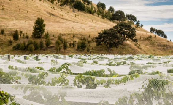 at-trinity-hill-following-the-planting-of-traditional-bordeaux-region-varietals-southern-european-grape-varieties-syrah-and-viognier-were-also-planted-here-covered-by-netting-to-protect-the-grapes
