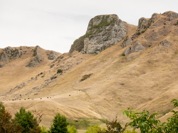 cattle-grazing-on-the-plateau-below-te-mata-peak-the-mountain-gave-the-winery-its-name-as-seen-from-the-craggy-range-winery-hawkes-bay-havelock-north-new-zealand