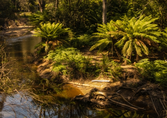 large-tree-ferns-along-the-emu-river-on-the-walking-track-in-fern-glade-reserve-burnie-tasmania-australia