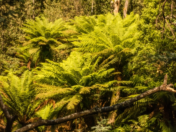 several-large-tree-ferns-sparking-in-the-sunlight-in-fern-glade-reserve-burnie-tasmania-australia