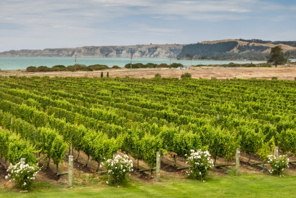 the-vineyards-at-elephant-hill-with-the-te-awanga-coast-of-hawkes-bay-in-the-background-viewed-from-the-offices-of-the-winery-upstairs-above-where-we-enjoyed-a-nice-al-fresco-luncheon-haw