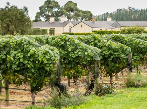the-vineyards-at-the-craggy-range-winery-are-bearing-fruit-a-month-or-so-before-harvest-and-the-nets-are-keeping-the-birds-at-bay-hawkes-bay-havelock-north-new-zealand-the-winery-buildi