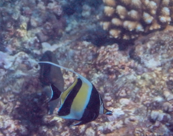 A Moorish Idol swam by -- the Moorish idol got its name from the Moors of Africa, who purportedly believed the fish to be a bringer of happiness; snorkeling off Loh Island, Torres Island