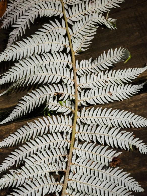 the-bottom-of-a-silver-fern-maori-ponga-new-zealands-national-emblem-found-in-the-puketi-omahuta-forest-manginangina-scenic-reserve-bay-of-islands-new-zealand
