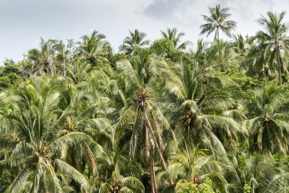 The Micronesian grandparents of many residents of current Titiana Village, Ghizo Island, Solomon Islands, were brought down from the Gilbert Islands to work for the British on the coconu