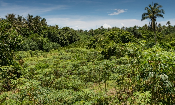 We hiked an hour each way across the island to the east (and back), passing many fields of manioc (also known as cassava, or yuca) which is grown for its edible root and is a dietary sta
