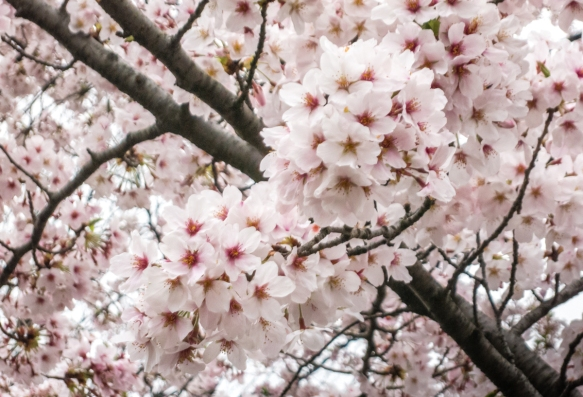 Clusters of Sakura (Cherry Blossoms) on a cherry tree at Ueno Park in the Uenokoen district, Tokyo, Japan