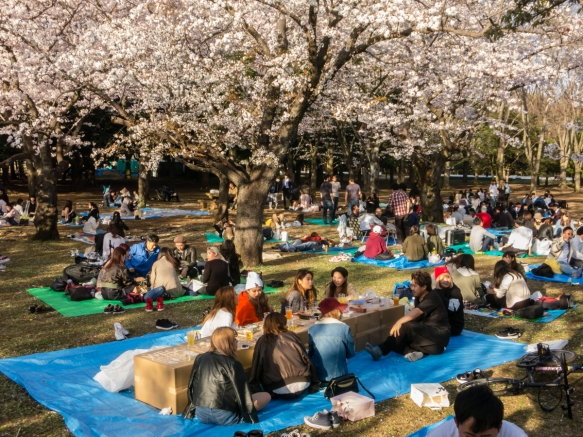 Groups gathered for picnic suppers under the Sakura (Cherry Blossoms) at Yoyogi Park adjacent to the Meiji Jingu Shrine in the Shibuya district, Tokyo, Japan
