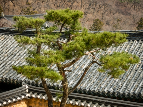 Lone pine tree, Beomeosa Temple complex on Mt. Geumjeongsan, Busan, South Korea
