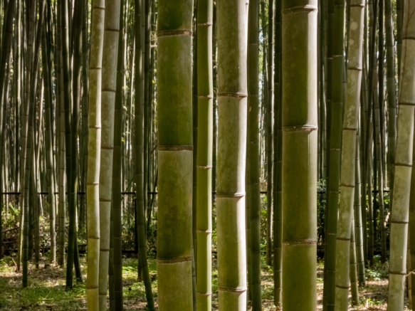 One of the highlights in Arashiyama is the famous Bamboo Grove, named by CNN as one of the most beautiful groves on Earth, Arashiyama DIstrict, Kyoto, Japan