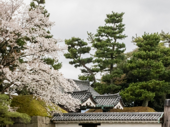 Our visit to Nijo-jo Castle, Kyoto, Japan, coincided with the height of Sakura (Cherry Blossom) season