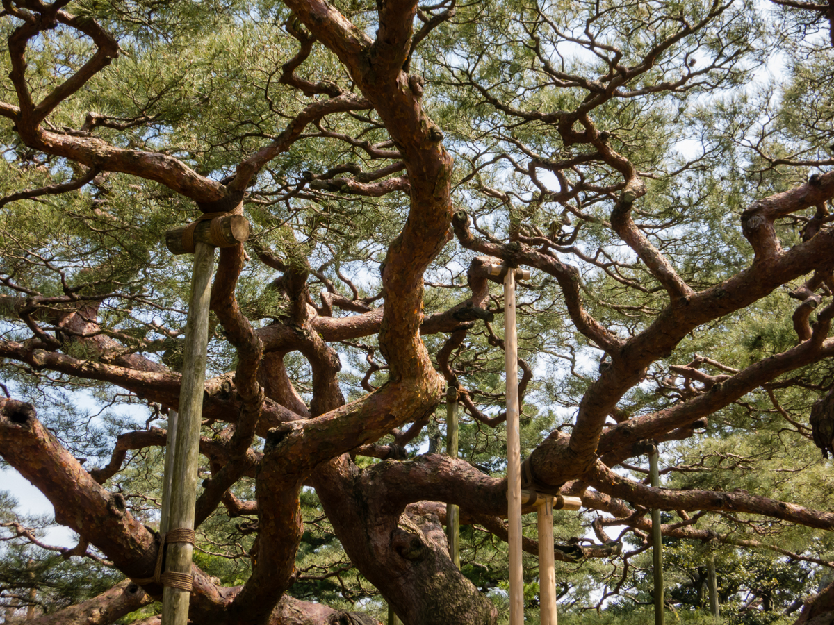 Tree branches in a Japanese garden are propped up by wooden sticks.