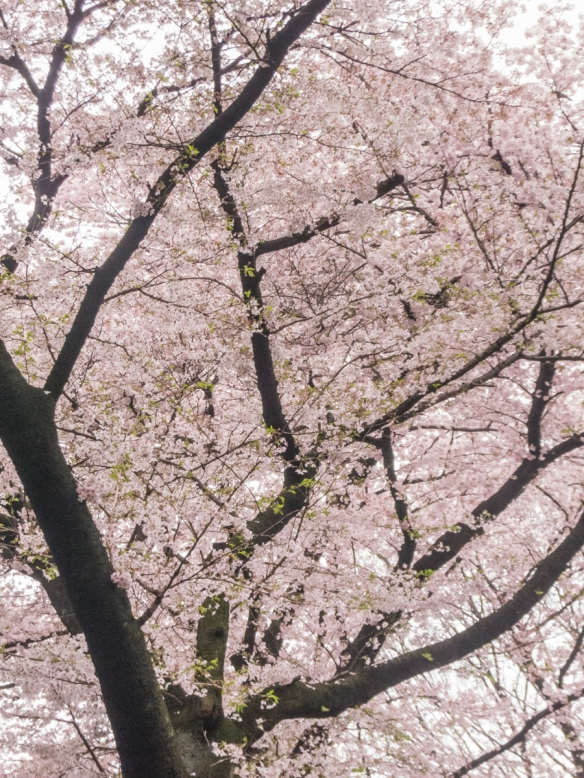 Sakura (Cherry Blossoms) #1 at Tokyo National Museum Hyokeikan Garden in the Uenokoen, Tokyo, Japan