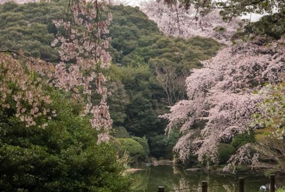 Sakura (Cherry Blossoms) #2 at Tokyo National Museum Hyokeikan Garden in the Uenokoen, Tokyo, Japan