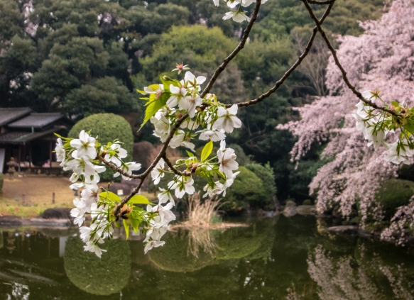 Sakura (Cherry Blossoms) #3 at Tokyo National Museum Hyokeikan Garden in the Uenokoen, Tokyo, Japan