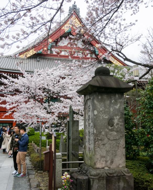 Sakura (Cherry Blossoms) at Senso-ji Temple (Buddhist), Tokyo, Japan