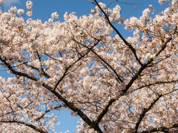 Sakura (Cherry Blossoms) at Yoyogi Park adjacent to the Meiji Jingu Shrine in the Shibuya district, Tokyo, Japan