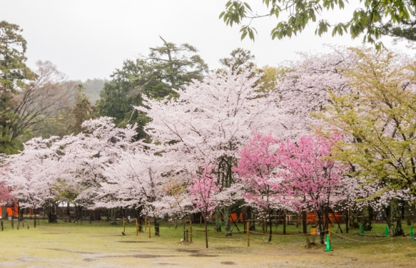 Sakura (Cherry Blossoms) were in full bloom when we visited Kyoto, Japan, shown here in the pouring rain at a local shrine