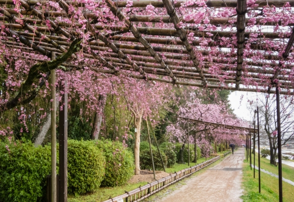 The bank of the Kamo River on the north side of the city has trellises to support the cherry trees and their blossoms (Sakura), Kyoto, Japan