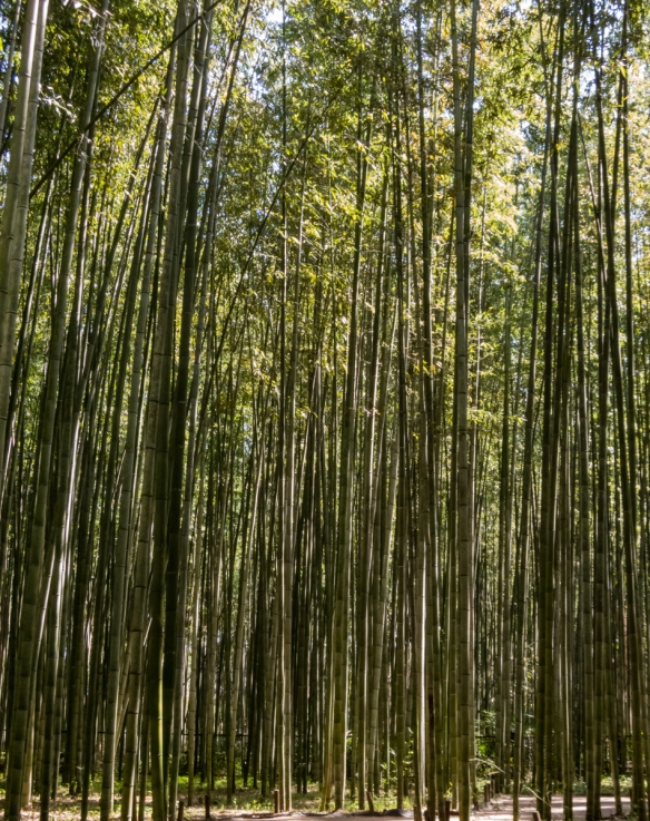 Walking in the Bamboo Garden in the Arashiyama District of Kyoto, Japan, is like entering another world – the thick green bamboo stalks seem to continue endlessly in every direction an