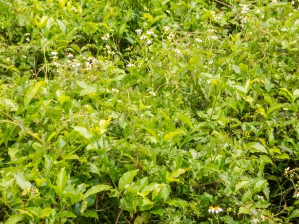 Black tea growing at the Hugosum big-leaf black tea farm, Sun Moon Lake, Taichung, Taiwan