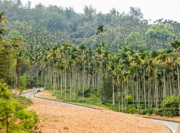 The main crop around Sun Moon Lake (show here) is betel palms, grown for the betel nuts, Hugosum big-leaf black tea farm, Sun Moon Lake, Taichung, Taiwan