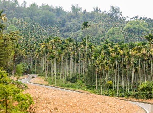 The main crop around Sun Moon Lake (show here) is betel palms, grown for the betel nuts, Hugosum big-leaf black tea farm, Sun Moon Lake, Taichung, Taiwan