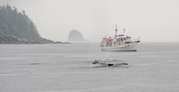 A humpback whale dives underwater in front of a whale watching boat in the Pacific Ocean off Juneau, Alaska, USA; note that the shape of the fluke is unique to each whale, like human fin