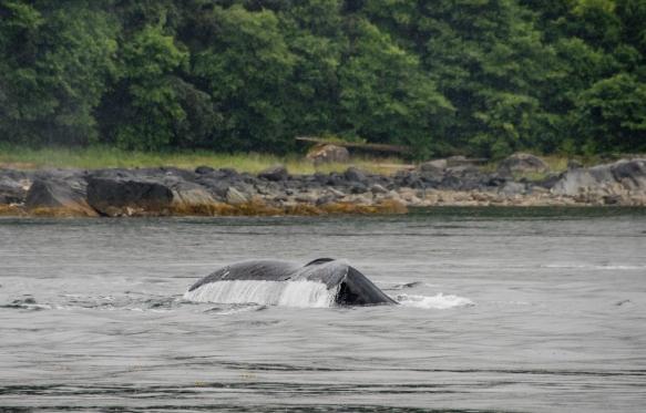 A humpback whale fluke, Pacific Ocean, Juneau, Alaska, USA