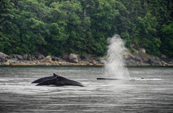Humpback whales pas-de-deux (a dance or figure for two performers), part I; Pacific Ocean, Juneau, Alaska, USA