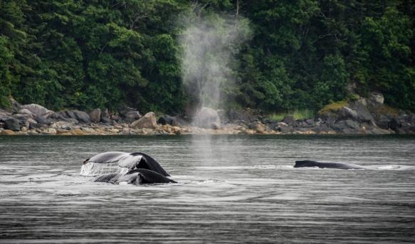Humpback whales pas-de-deux, part II; Pacific Ocean, Juneau, Alaska, USA