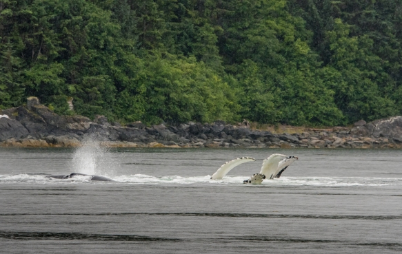 The four white dorsal fins belong to four separate humpback whales that are quite close to one another as they finish their bubble-net feeding routine; Pacific Ocean, Juneau, Alaska, USA
