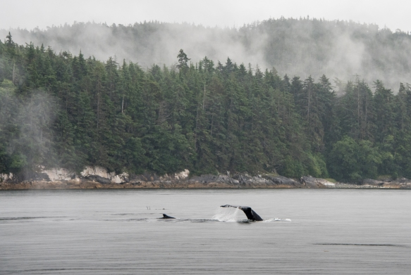 The humpback whales that we observed were swimming in the Pacific Ocean quite close to shore; Juneau, Alaska, USA