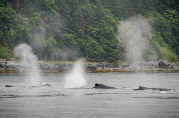 Water spouting from blowholes of a pod of humpback whales, Pacific Ocean, Juneau, Alaska, USA