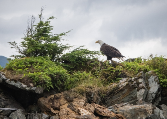 "While somewhat rare these days in the ""Lower 48"" (the continental United States of America), bald eagles are numerous in the Ketchikan, Alaska, area; this one was photographed from o"