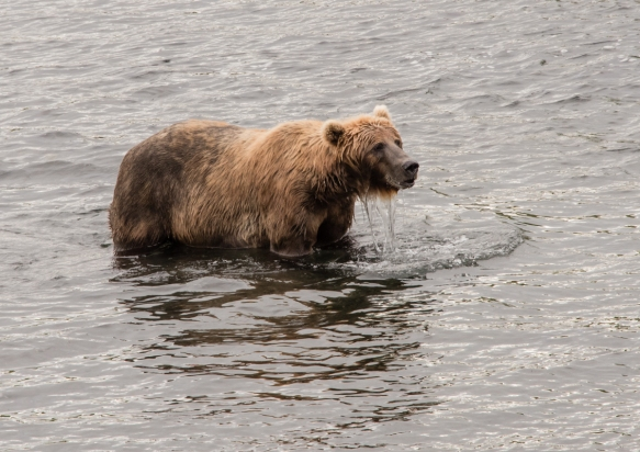 "A mother brown bear who spent the morning ""fishing"" (with her paws and mouth) for sockeye salmon for herself and her three cubs, Frazer Lake, Kodiak Island, Alaska USA"