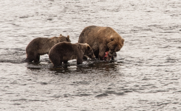 A second cub joins mom and the first cub, Frazer Lake, Kodiak Island, Alaska USA