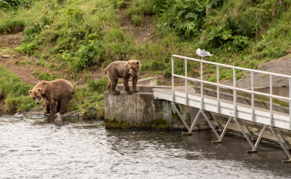 "Back on the ""hunt"" at the end of the fish weir, Frazer Lake, Kodiak Island, Alaska USA"